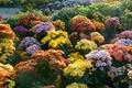 Картинка кусты, сад, хризантемы, разноцветные, цветы, солнечно