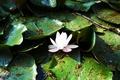 Картинка белый, листья, водяная лилия