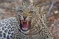 Картинка дикая кошка, зверь, оскал, клыки, злюка, пасть, хищник, леопард