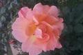 Картинка Листья, Роза, Цветок