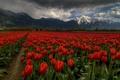 Картинка тюльпаны, небо, облака, поле, горы, тучи, цветы