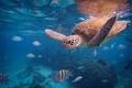 Картинка черепаха, под водой, рыбы, море, океан