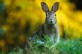 Картинка трава, уши, заяц, зелень, мордашка, боке, грызун, настороже, фон, зайчик, взгляд, дикая природа, портрет