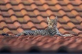 Картинка на крыше, крыша, котёнок, черепица, взгляд, кошка