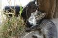 Картинка полосатый котёнок, котята, животные