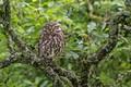 Картинка дерево, птица, Домовый сыч, сова