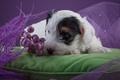 Картинка цветы, щенок, подушка, силихем-терьер
