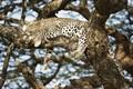 Картинка отдых, хищник, пятна, леопард, лежит, маскировка, окрас, дикая кошка, на дереве