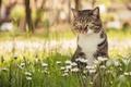 Картинка кошка, кот, цветы, боке, маргаритки